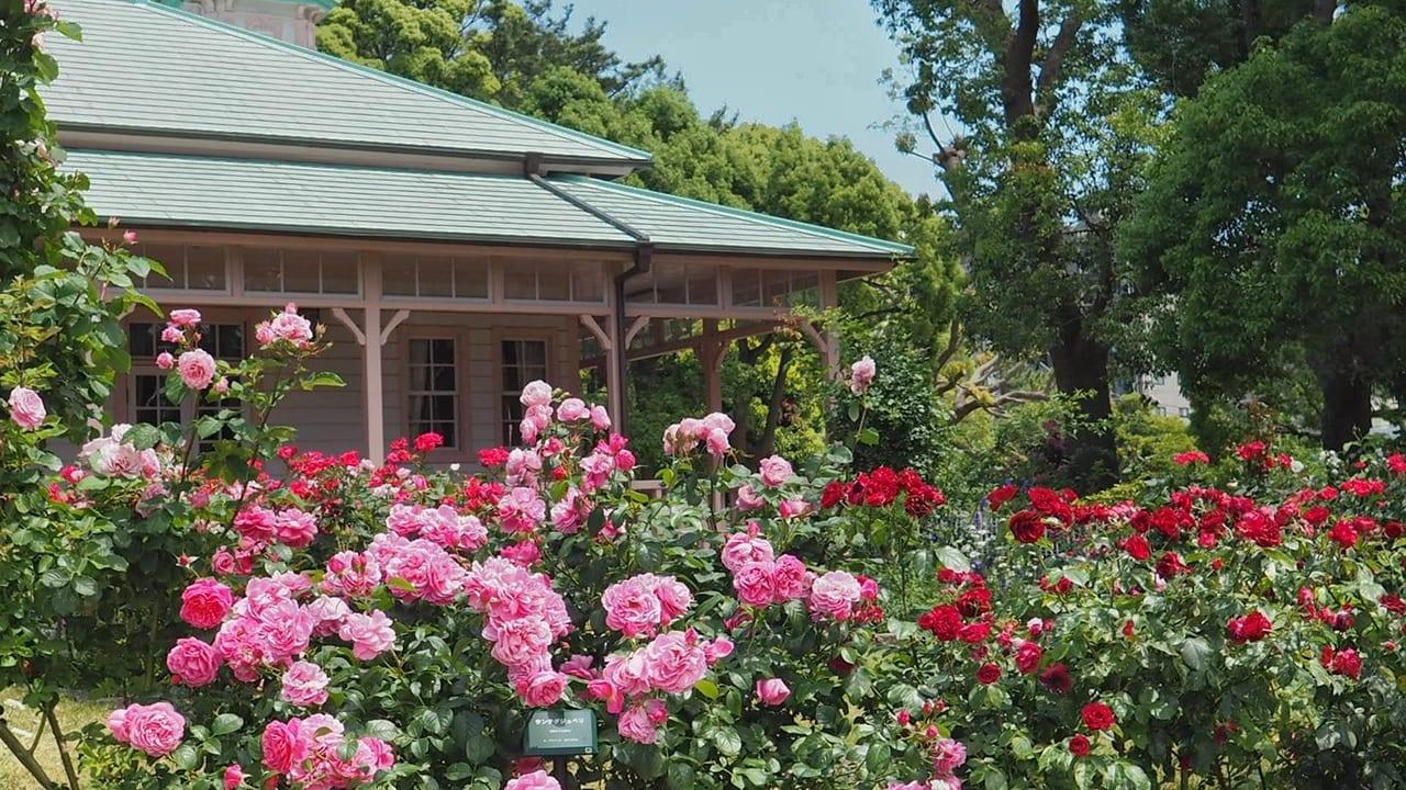 八幡山の洋館でバラが見頃を迎えています