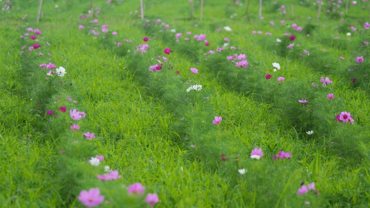 イシックス馬入のお花畑でコスモスが開花!