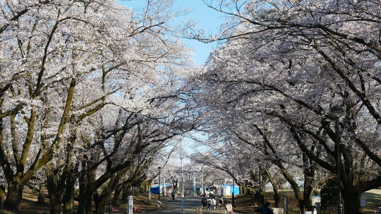 狭山稲荷山公園の桜