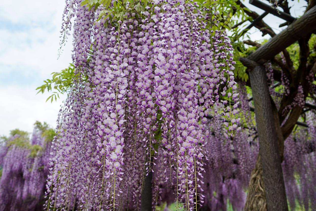 藤の花 イメージ