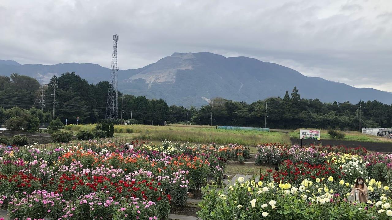 KIMOTOダリア園2020