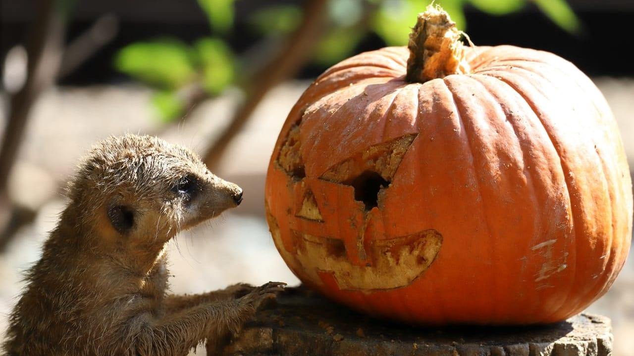 かぼちゃとミーアキャットAC
