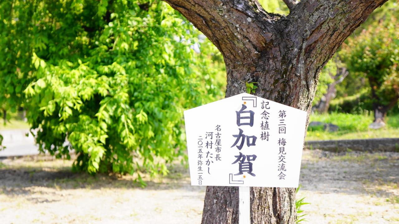 名古屋市長植樹の梅の木