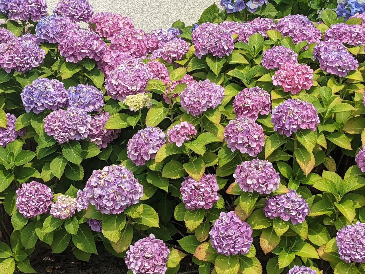 佐賀市 紫陽花