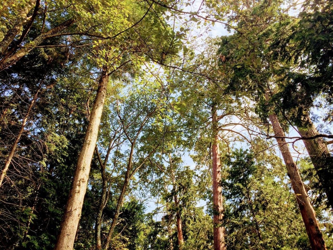東近江市の保護樹林1