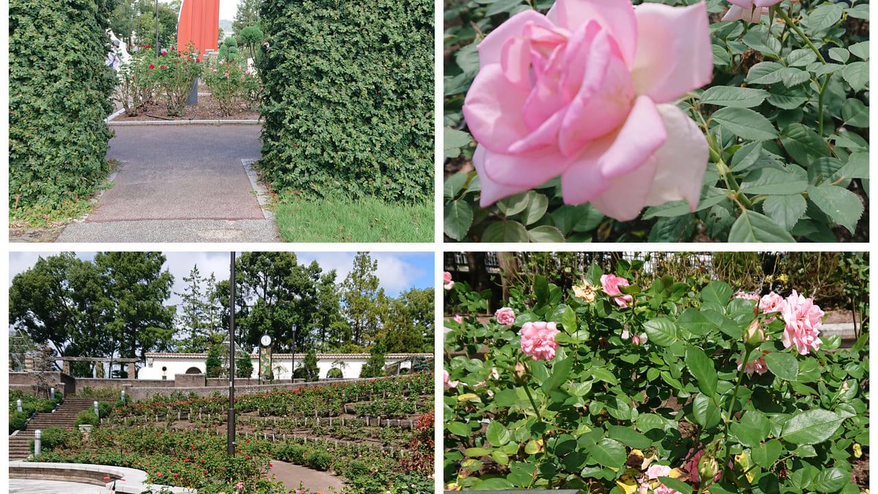 ピンクのバラとツタのトンネル