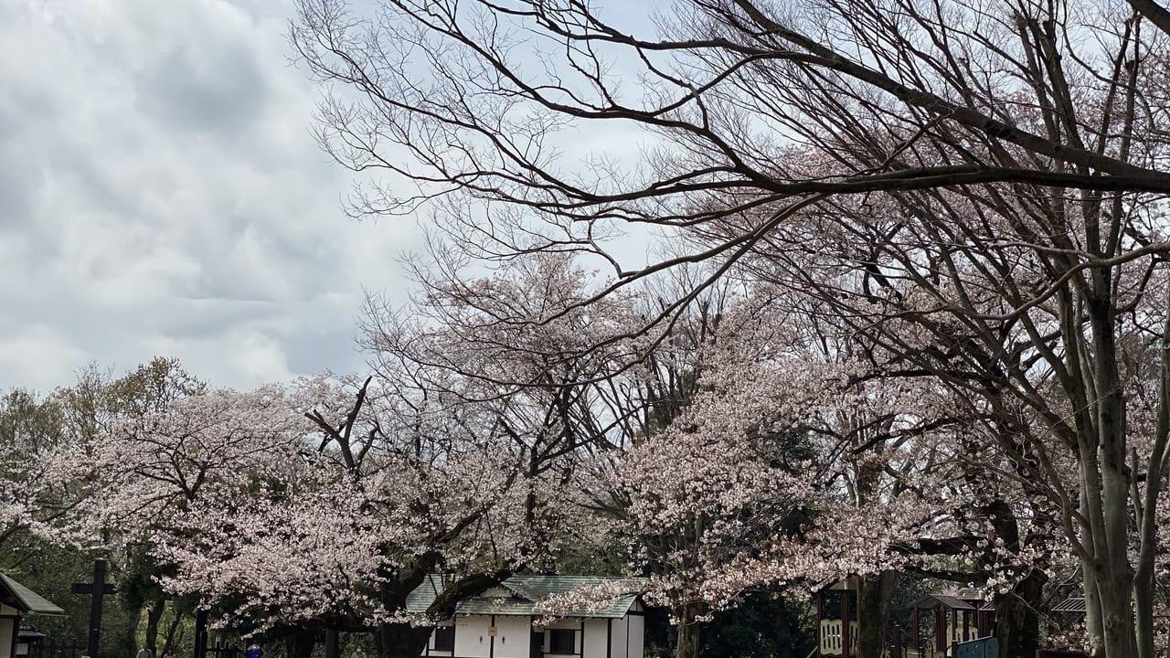 枡形山桜(2020年撮影)